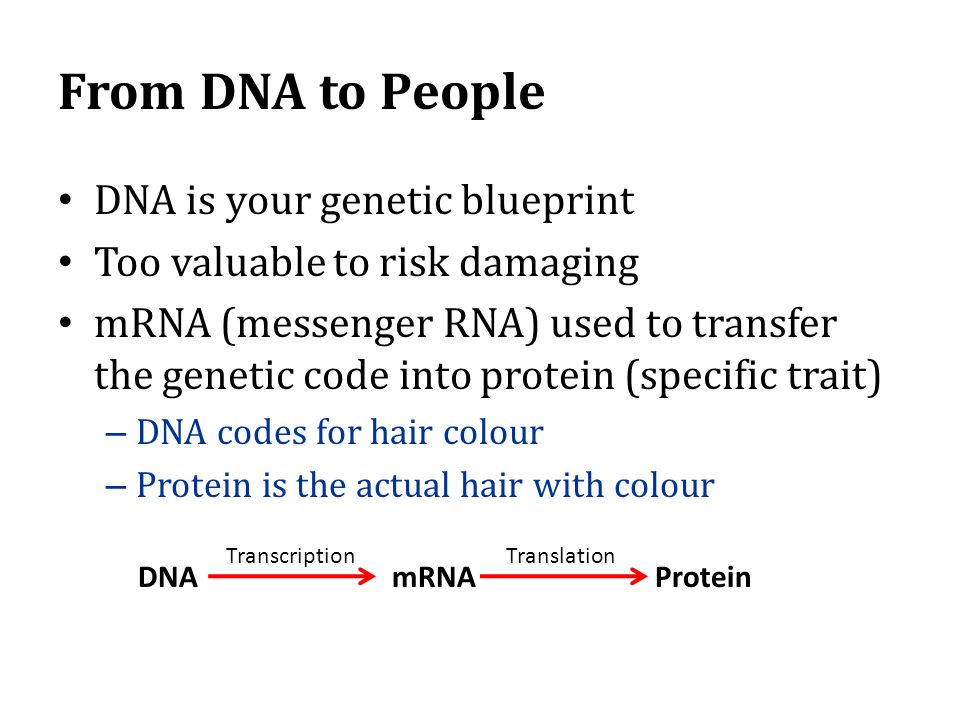 From DNA to People DNA is your genetic blueprint Too valuable to risk damaging mRNA (messenger RNA) used to transfer the genetic code into protein (specific trait) – DNA codes for hair colour – Protein is the actual hair with colour DNA mRNA Protein TranscriptionTranslation