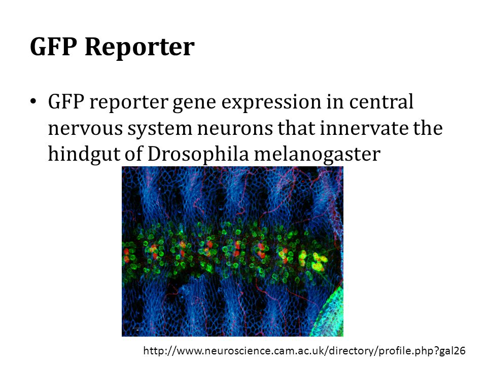 GFP Reporter GFP reporter gene expression in central nervous system neurons that innervate the hindgut of Drosophila melanogaster http://www.neuroscience.cam.ac.uk/directory/profile.php?gal26