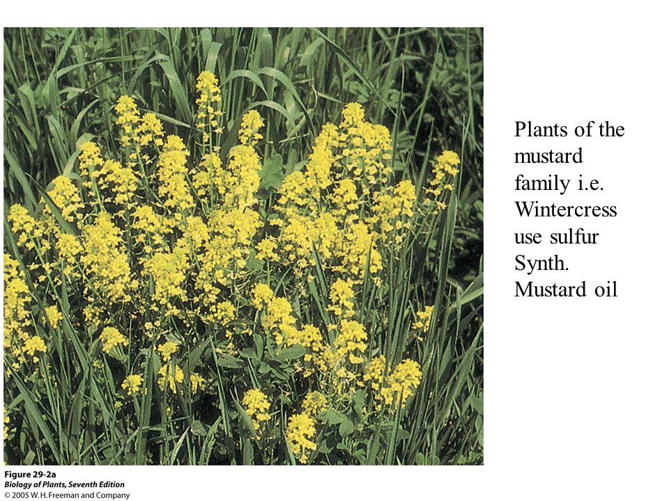 Plants of the mustard family i.e. Wintercress use sulfur Synth. Mustard oil