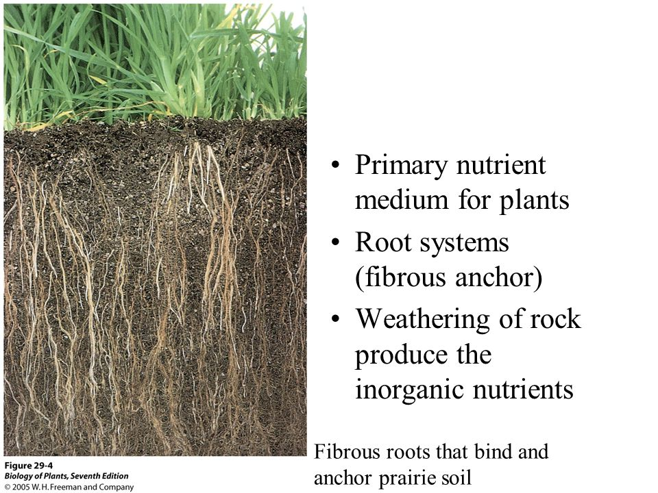 Fibrous roots that bind and anchor prairie soil Primary nutrient medium for plants Root systems (fibrous anchor) Weathering of rock produce the inorga