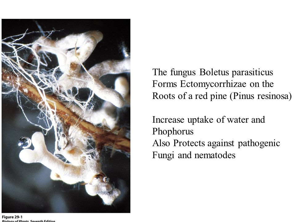 The fungus Boletus parasiticus Forms Ectomycorrhizae on the Roots of a red pine (Pinus resinosa) Increase uptake of water and Phophorus Also Protects against pathogenic Fungi and nematodes