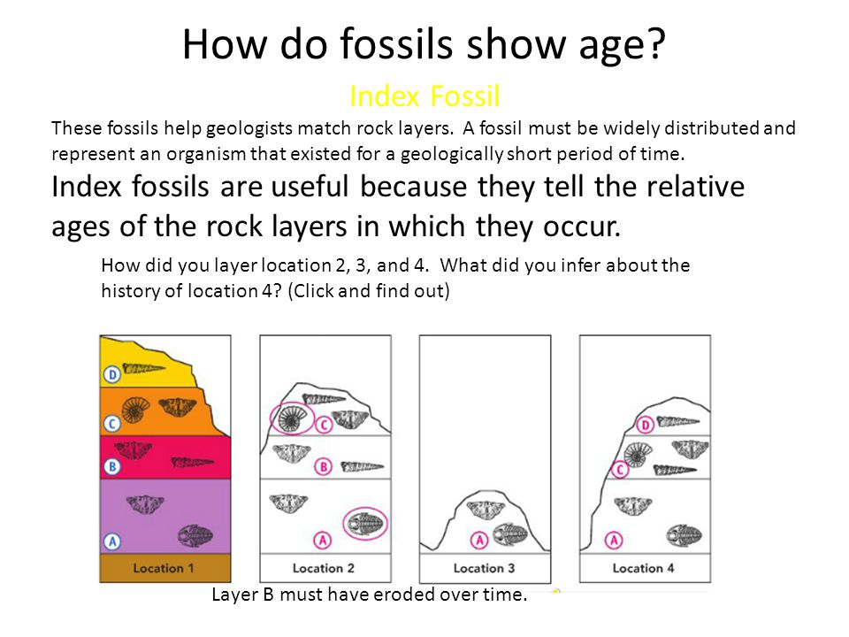 How do fossils show age? Index Fossil These fossils help geologists match rock layers. A fossil must be widely distributed and represent an organism t