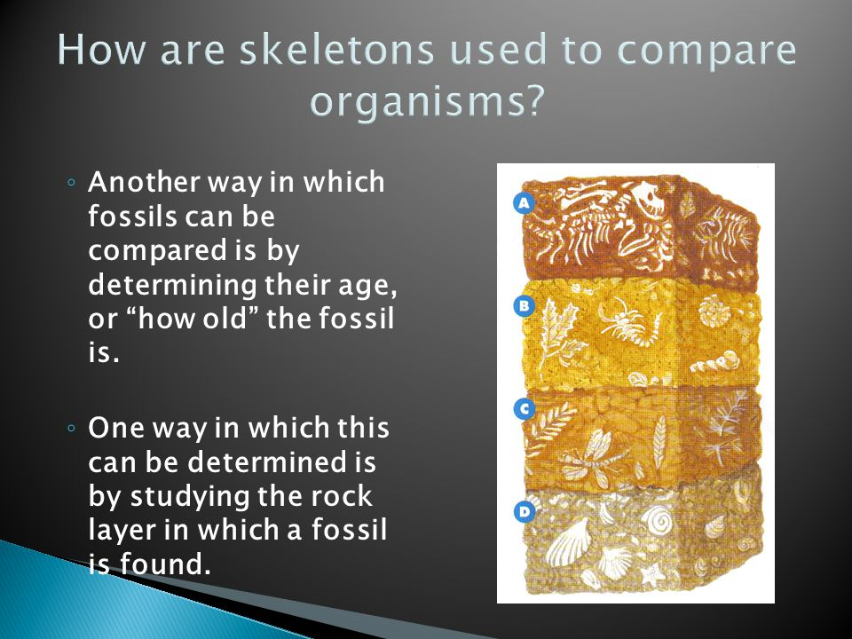 ◦ Another way in which fossils can be compared is by determining their age, or how old the fossil is.
