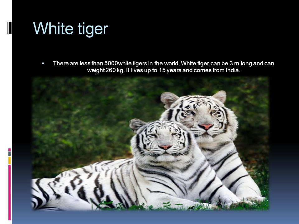 White tiger  There are less than 5000white tigers in the world.