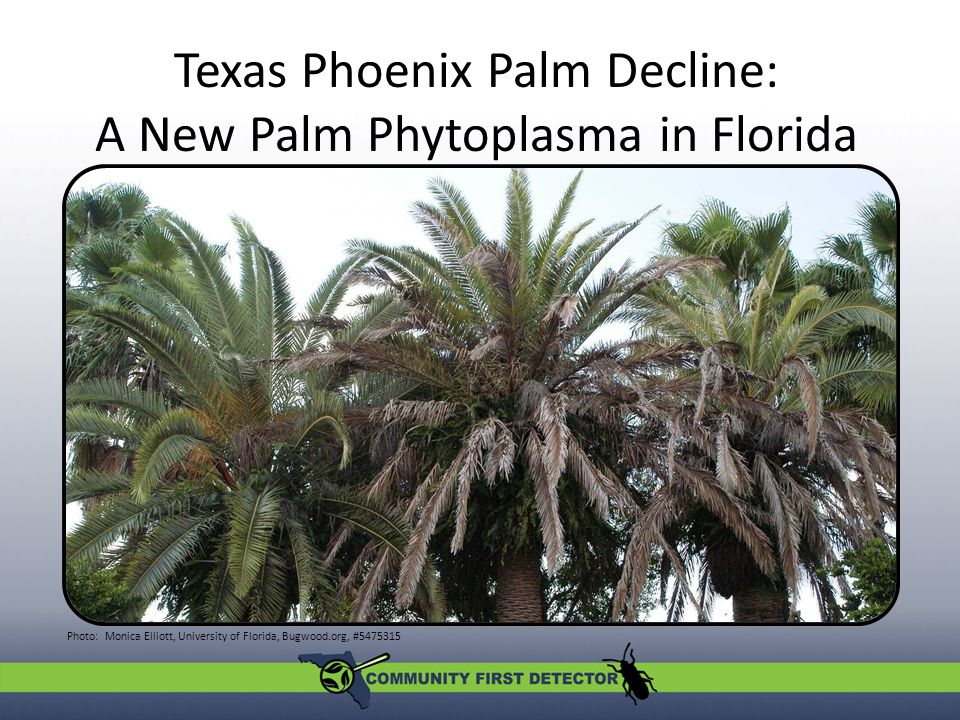 Texas Phoenix Palm Decline: A New Palm Phytoplasma in Florida A new palm phytoplasma in Florida Photo: Monica Elliott, University of Florida, Bugwood.org, #5475315