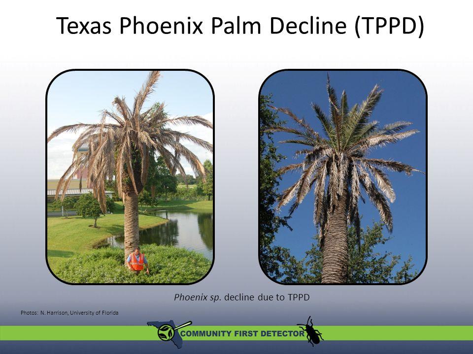 Phoenix sp. decline due to TPPD Texas Phoenix Palm Decline (TPPD) Photos: N.