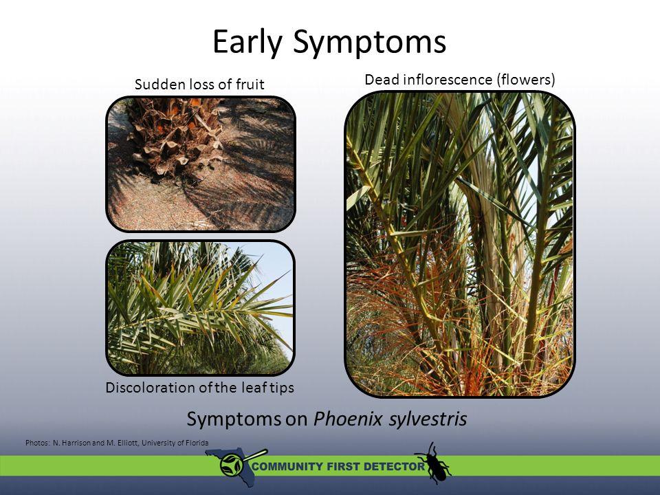 Symptoms on Phoenix sylvestris Early Symptoms Photos: N.