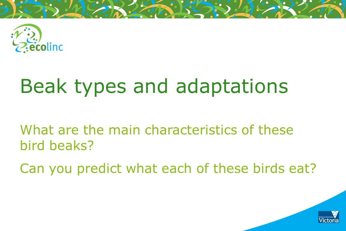 Beak types and adaptations What are the main characteristics of these bird beaks? Can you predict what each of these birds eat?