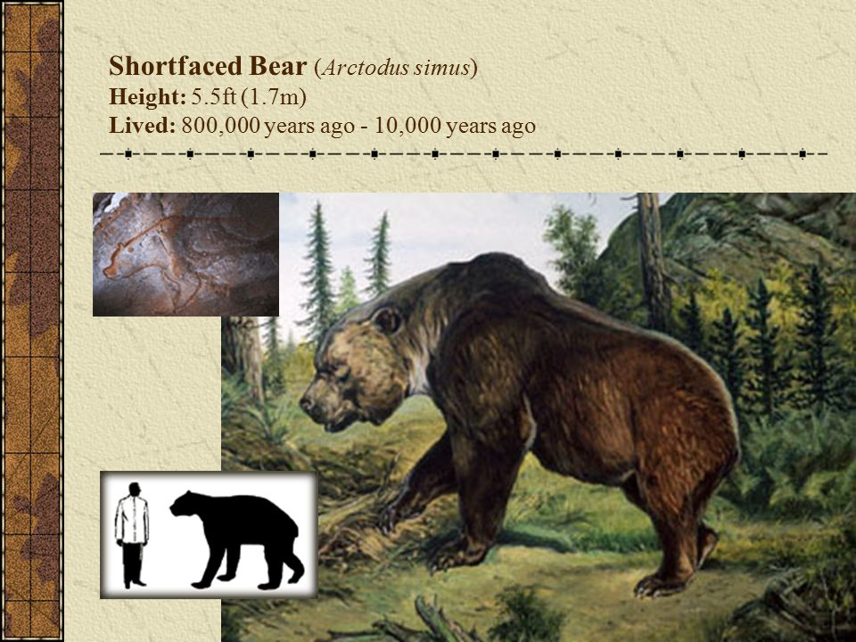 Shortfaced Bear (Arctodus simus) Height: 5.5ft (1.7m) Lived: 800,000 years ago - 10,000 years ago