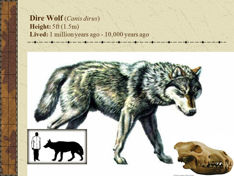 Dire Wolf (Canis dirus) Height: 5ft (1.5m) Lived: 1 million years ago - 10,000 years ago