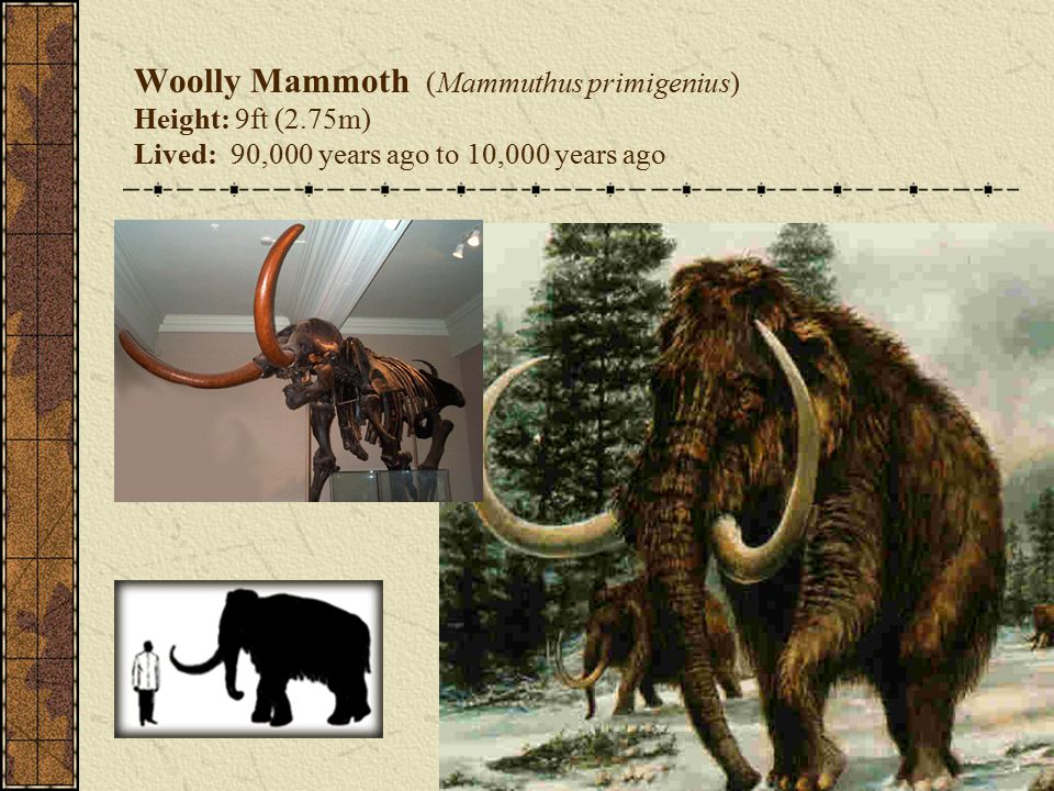 Woolly Mammoth (Mammuthus primigenius) Height: 9ft (2.75m) Lived: 90,000 years ago to 10,000 years ago