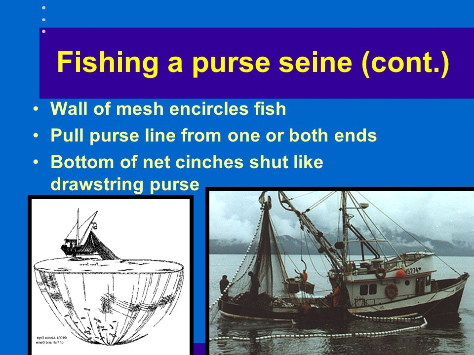 Fishing a purse seine (cont.) Wall of mesh encircles fish Pull purse line from one or both ends Bottom of net cinches shut like drawstring purse
