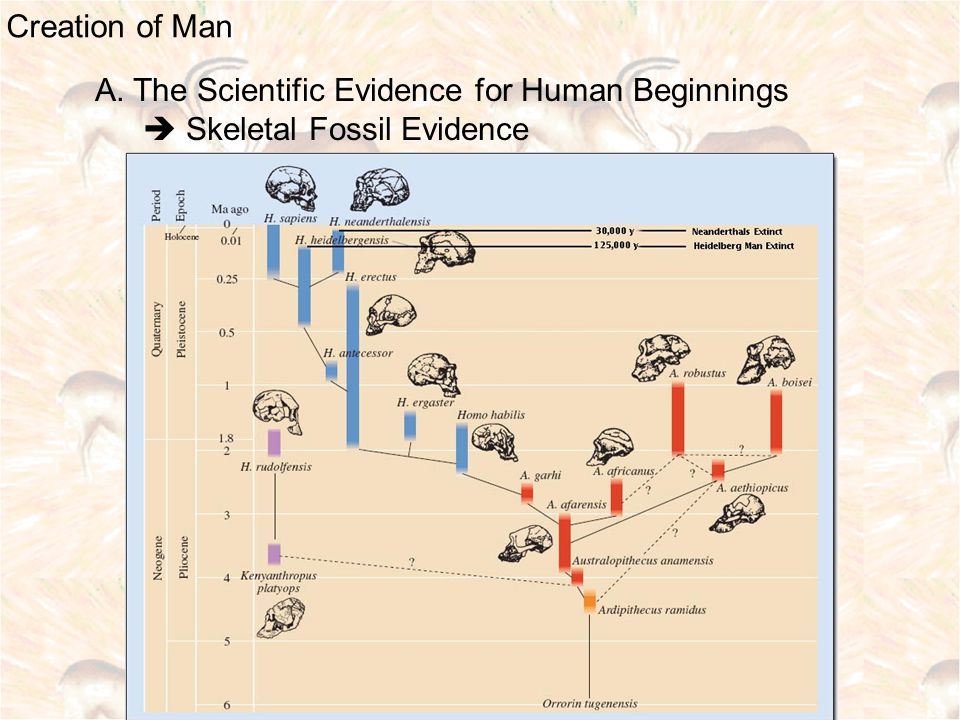 Creation of Man A. The Scientific Evidence for Human Beginnings  Skeletal Fossil Evidence
