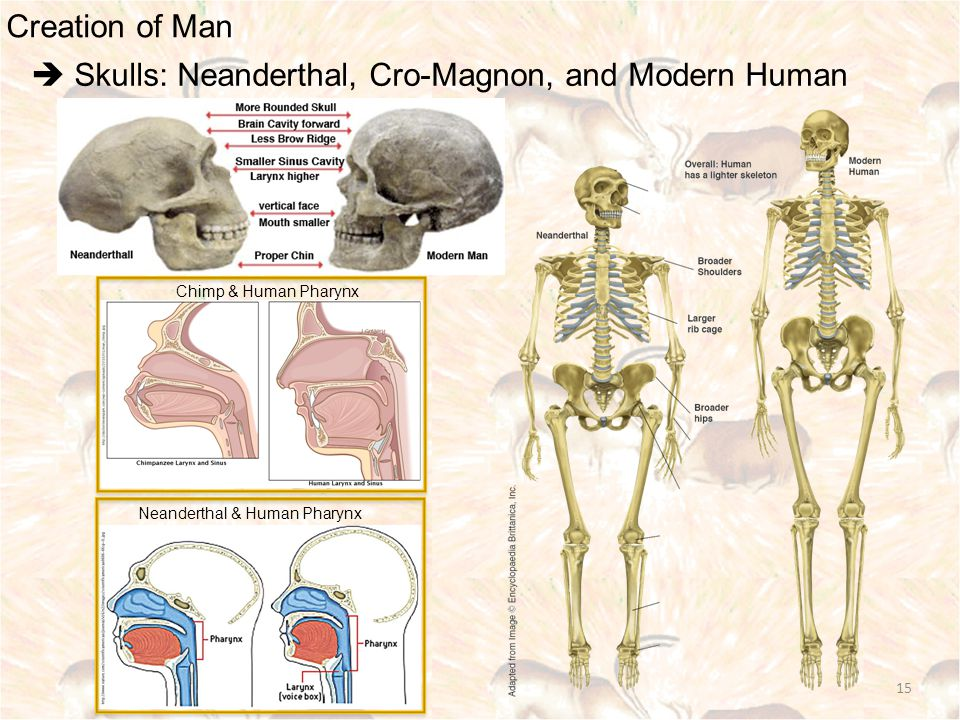 Creation of Man  Skulls: Neanderthal, Cro-Magnon, and Modern Human 15 Chimp & Human Pharynx Neanderthal & Human Pharynx