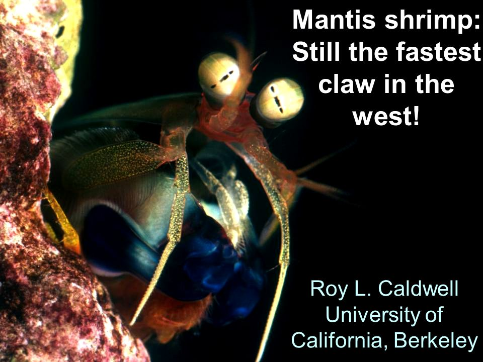 Roy L. Caldwell University of California, Berkeley Mantis shrimp: Still the fastest claw in the west!