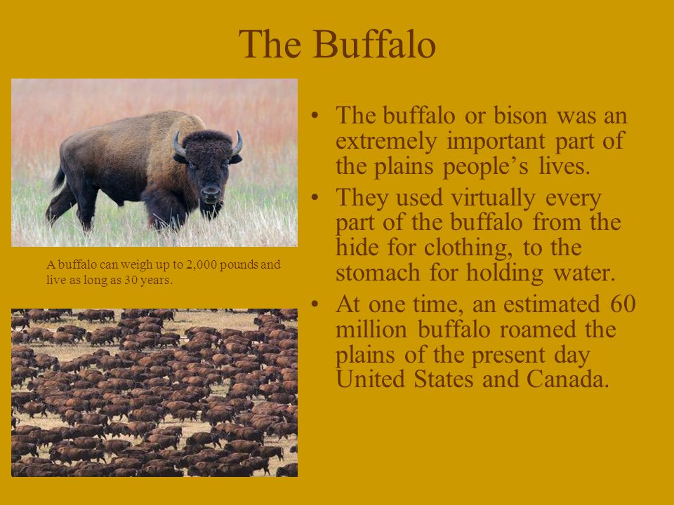 The Buffalo The buffalo or bison was an extremely important part of the plains people's lives.