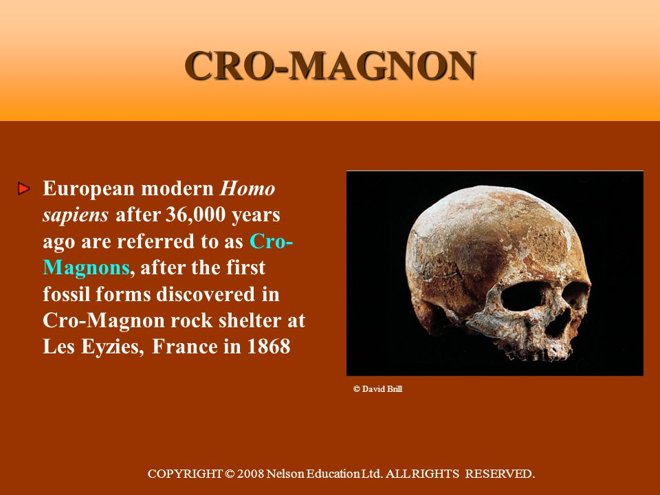 COPYRIGHT © 2008 Nelson Education Ltd. ALL RIGHTS RESERVED. CRO-MAGNON European modern Homo sapiens after 36,000 years ago are referred to as Cro- Mag