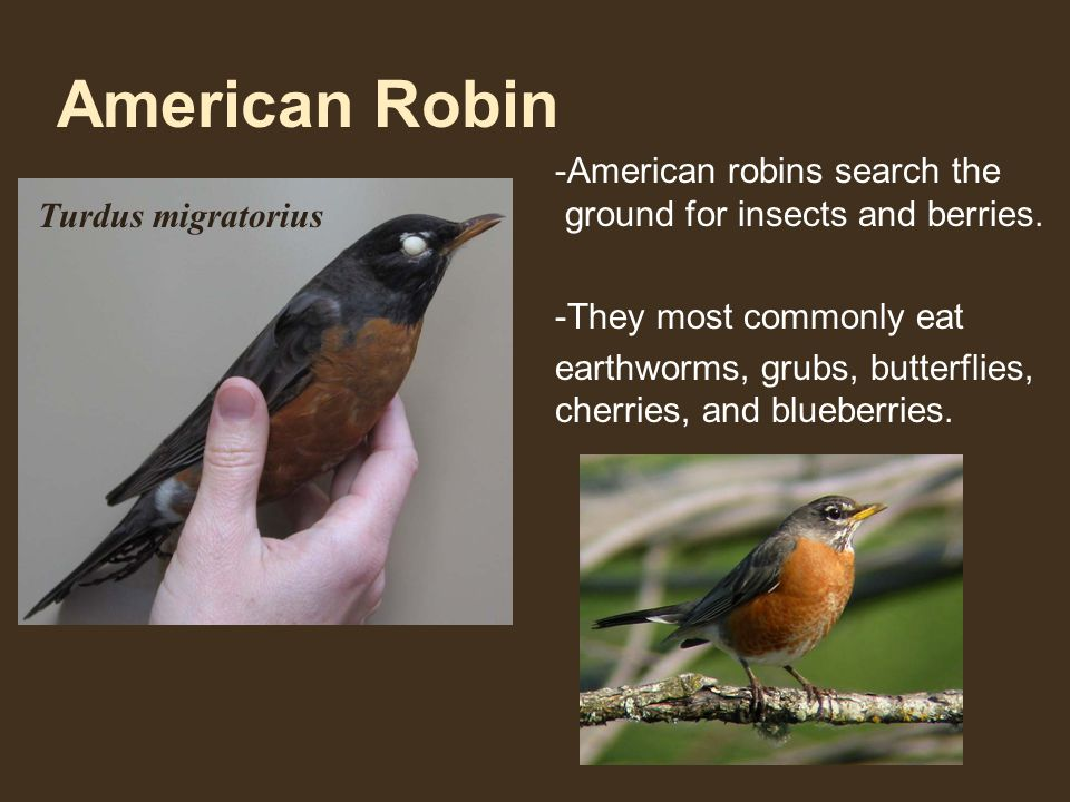 American Robin -American robins search the ground for insects and berries.