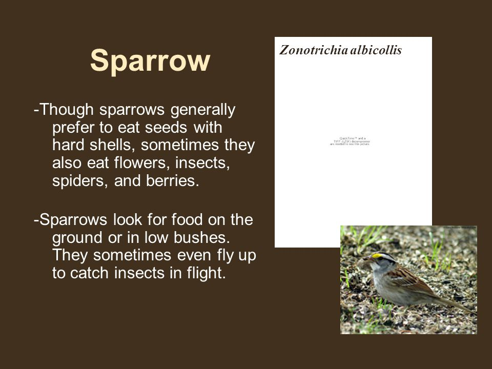 Sparrow -Though sparrows generally prefer to eat seeds with hard shells, sometimes they also eat flowers, insects, spiders, and berries.