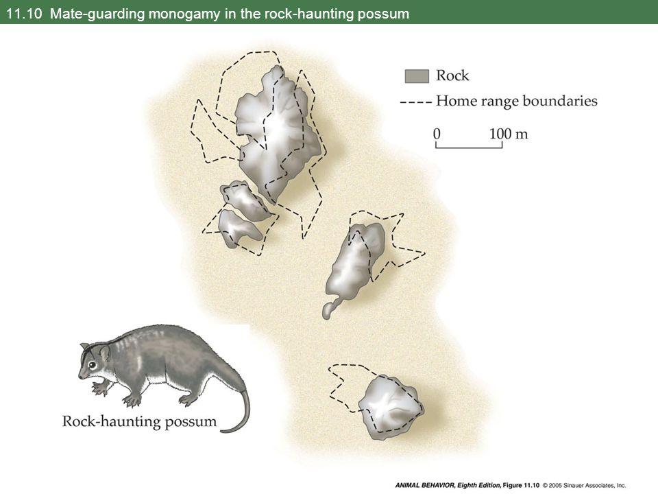 11.10 Mate-guarding monogamy in the rock-haunting possum