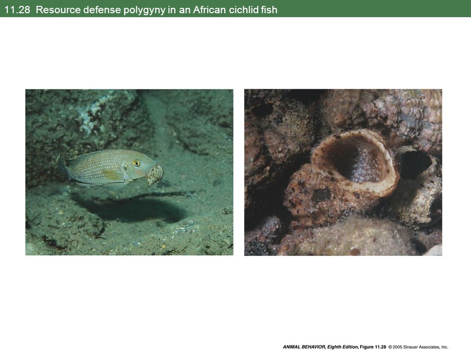 11.28 Resource defense polygyny in an African cichlid fish