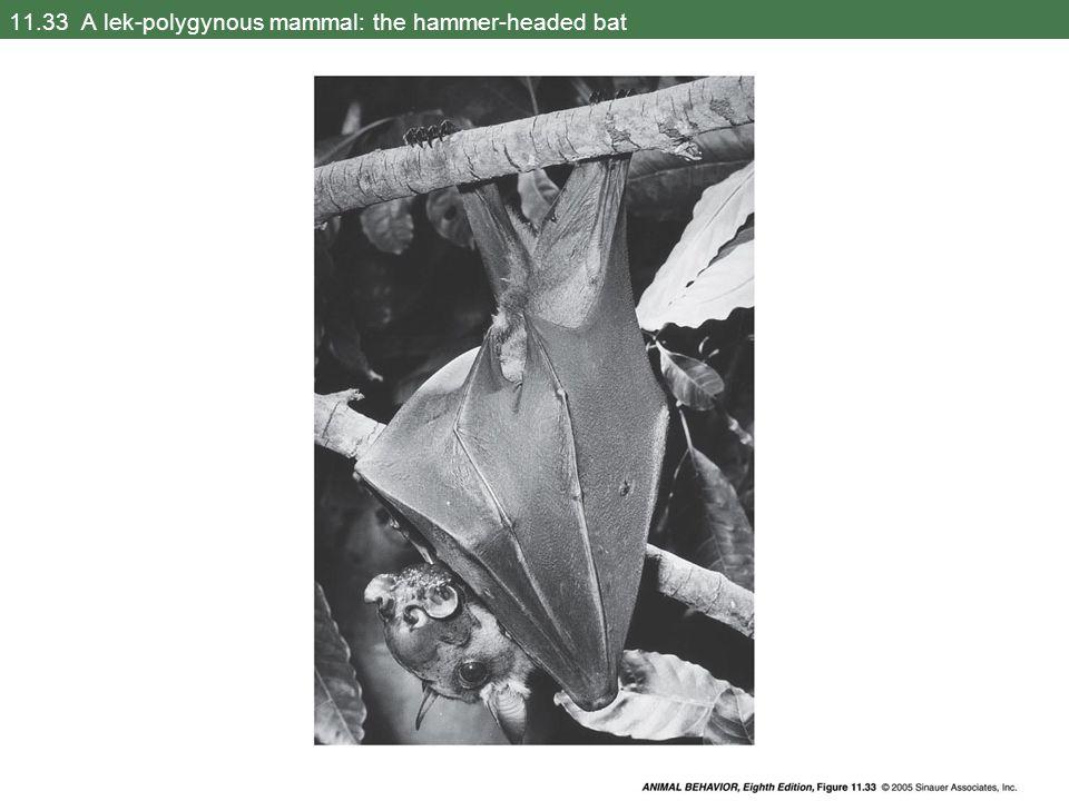 11.33 A lek-polygynous mammal: the hammer-headed bat
