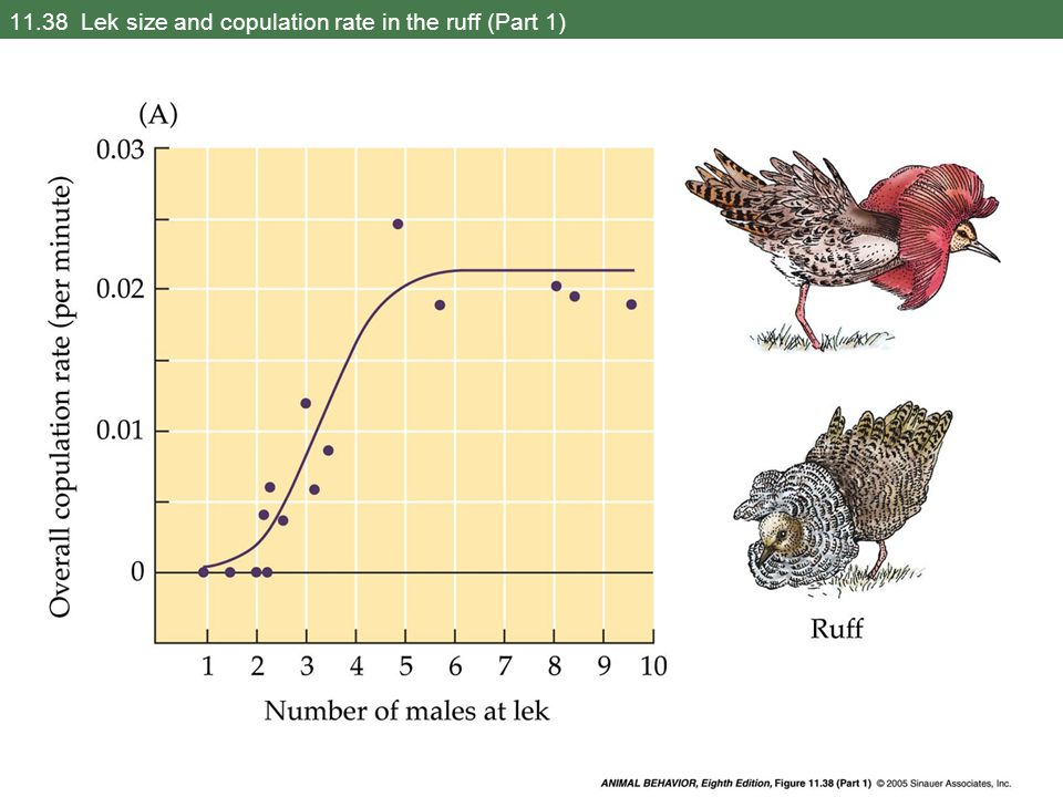 11.38 Lek size and copulation rate in the ruff (Part 1)