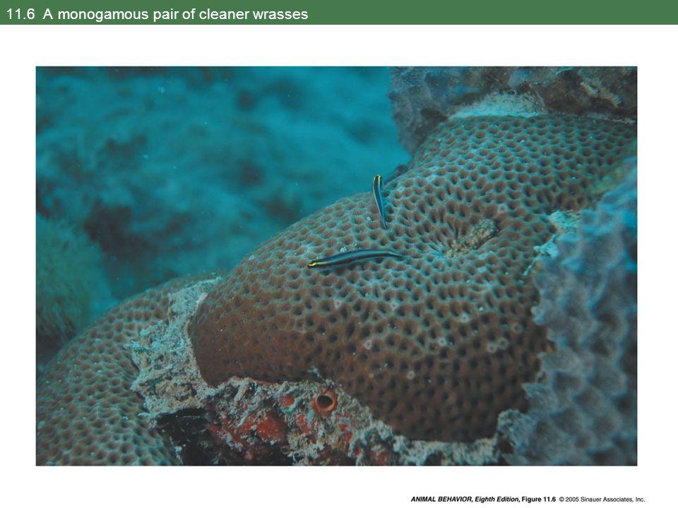 11.25 Female defense polygyny in a marine amphipod