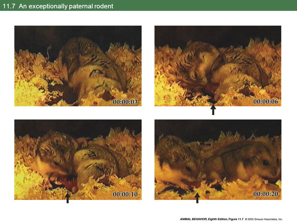 11.8 Male care of offspring affects fitness in the California mouse