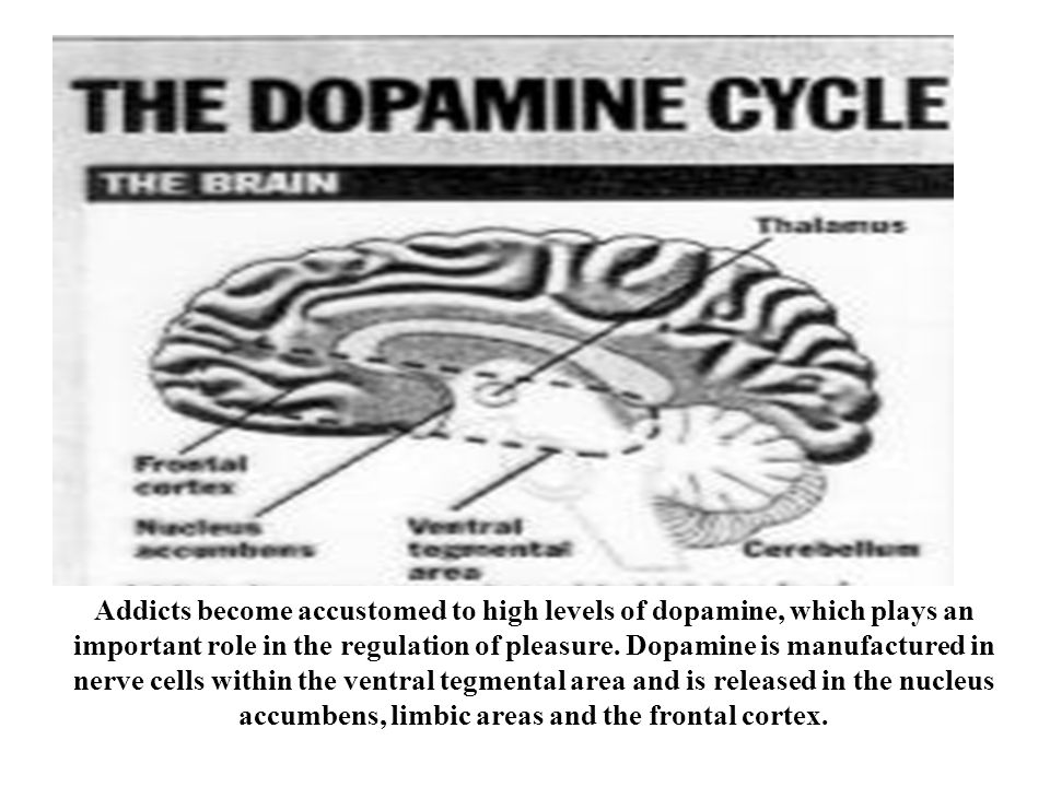 Addicts become accustomed to high levels of dopamine, which plays an important role in the regulation of pleasure. Dopamine is manufactured in nerve c