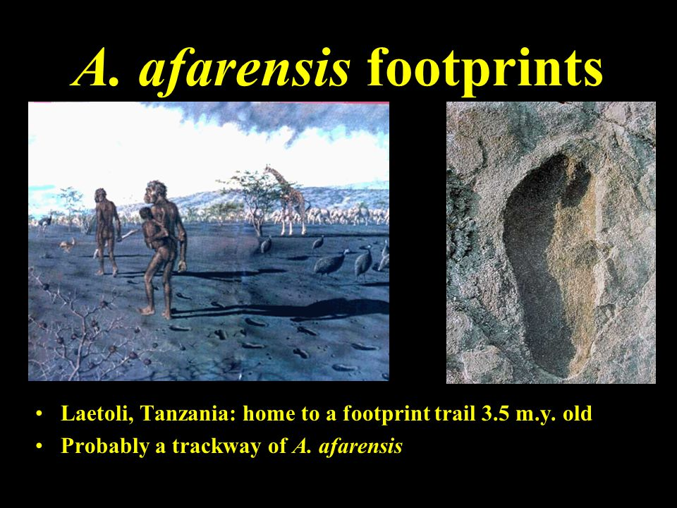 A. afarensis footprints Laetoli, Tanzania: home to a footprint trail 3.5 m.y. old Probably a trackway of A. afarensis