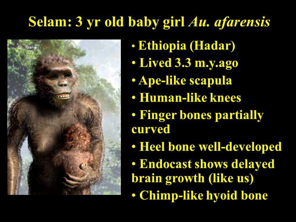 Selam: 3 yr old baby girl Au. afarensis Ethiopia (Hadar) Lived 3.3 m.y.ago Ape-like scapula Human-like knees Finger bones partially curved Heel bone w