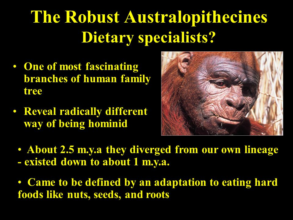 The Robust Australopithecines Dietary specialists? One of most fascinating branches of human family tree Reveal radically different way of being homin