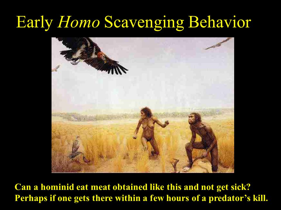 Early Homo Scavenging Behavior Can a hominid eat meat obtained like this and not get sick? Perhaps if one gets there within a few hours of a predator'