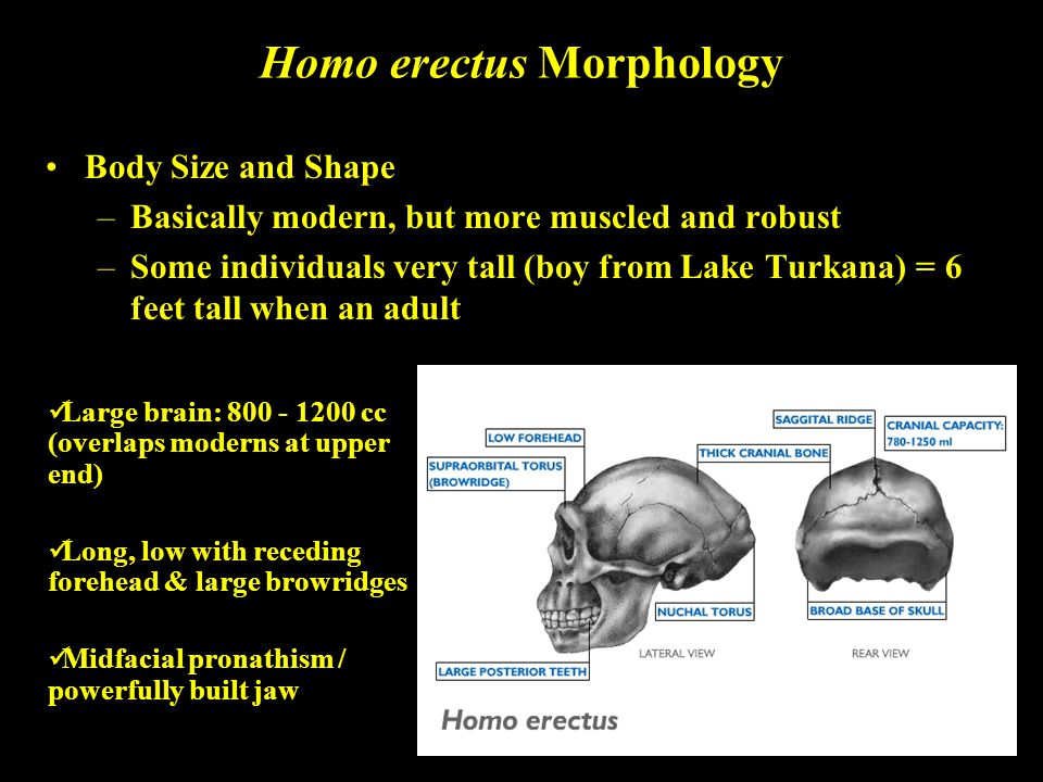 Homo erectus Morphology Body Size and Shape –Basically modern, but more muscled and robust –Some individuals very tall (boy from Lake Turkana) = 6 fee