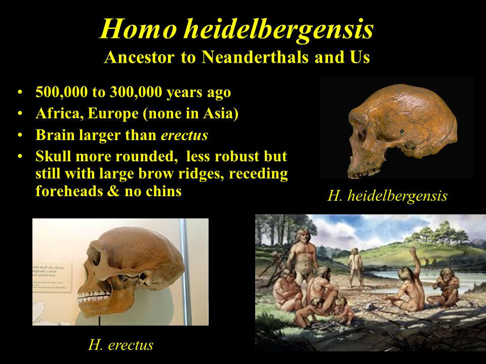 Homo heidelbergensis Ancestor to Neanderthals and Us 500,000 to 300,000 years ago Africa, Europe (none in Asia) Brain larger than erectus Skull more r