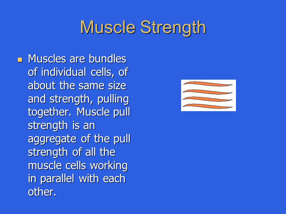 Muscle Strength Muscles are bundles of individual cells, of about the same size and strength, pulling together. Muscle pull strength is an aggregate o