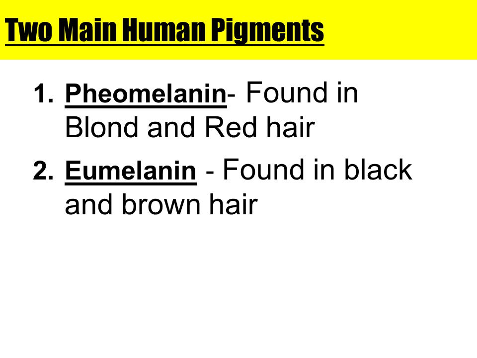 Two Main Human Pigments 1.Pheomelanin- Found in Blond and Red hair 2.Eumelanin - Found in black and brown hair