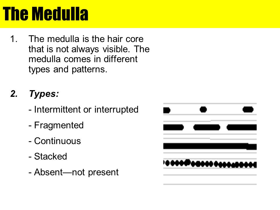 The Medulla 1.The medulla is the hair core that is not always visible. The medulla comes in different types and patterns. 2.Types: - Intermittent or i