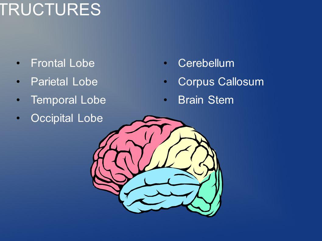 BRAIN STRUCTURES Frontal Lobe Parietal Lobe Temporal Lobe Occipital Lobe Cerebellum Corpus Callosum Brain Stem