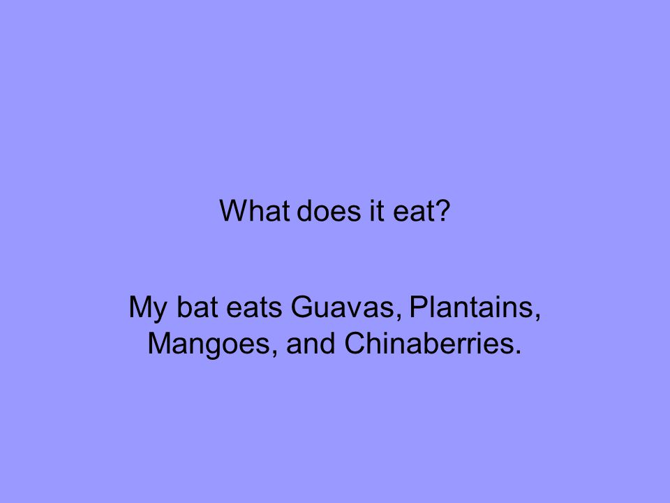 What does it eat My bat eats Guavas, Plantains, Mangoes, and Chinaberries.