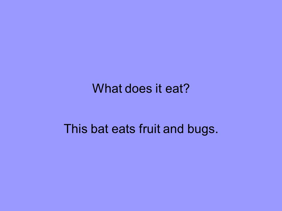 What does it eat This bat eats fruit and bugs.