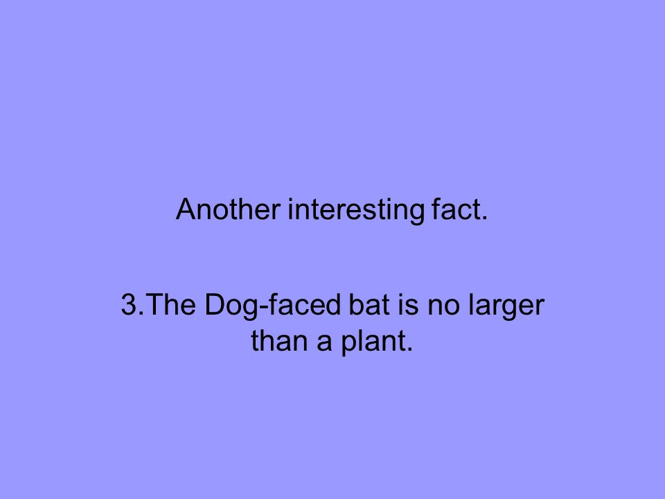 Another interesting fact. 3.The Dog-faced bat is no larger than a plant.
