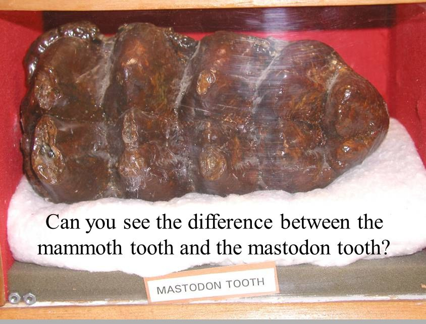 Can you see the difference between the mammoth tooth and the mastodon tooth