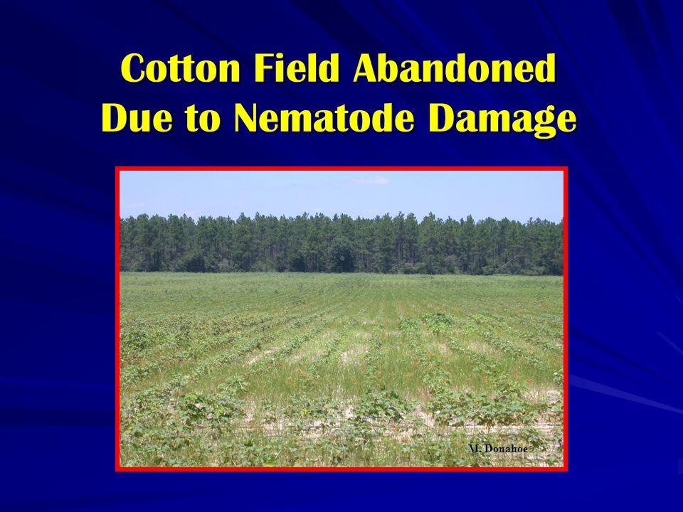 Cotton Field Abandoned Due to Nematode Damage M. Donahoe