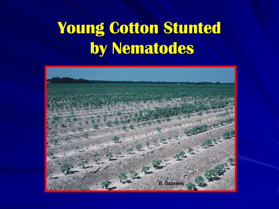 Young Cotton Stunted by Nematodes B. Gazaway