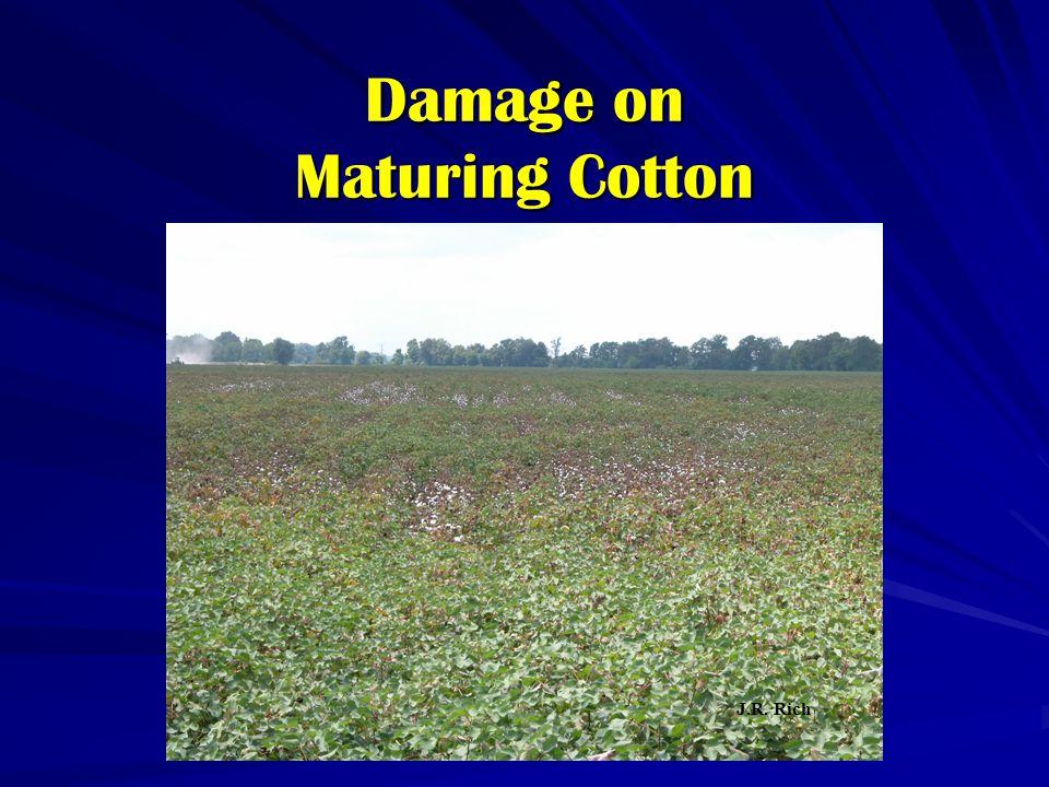 Damage on Maturing Cotton J.R. Rich