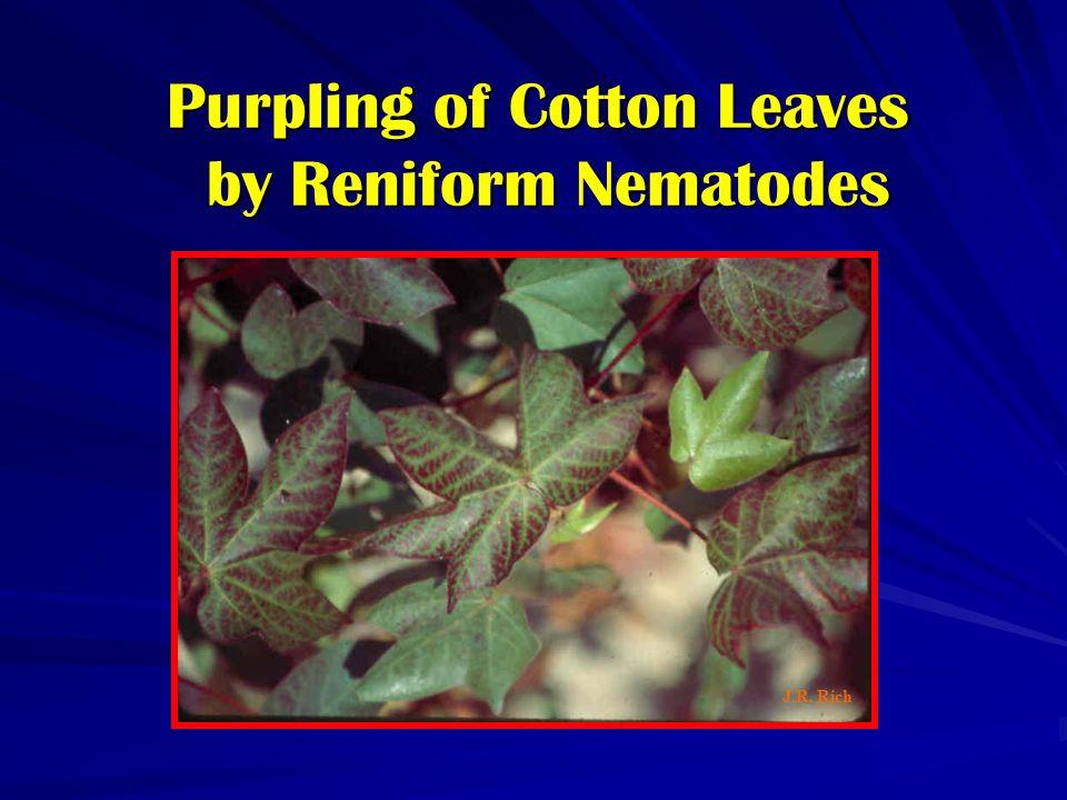 Purpling of Cotton Leaves by Reniform Nematodes J.R. Rich