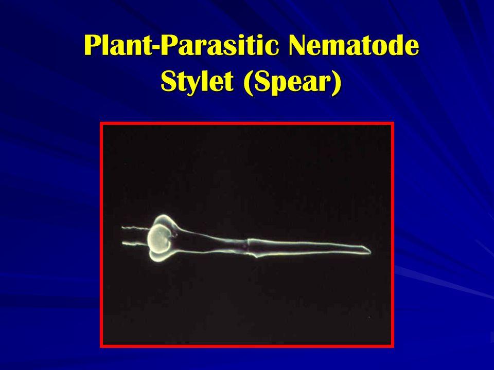 Plant-Parasitic Nematode Stylet (Spear)