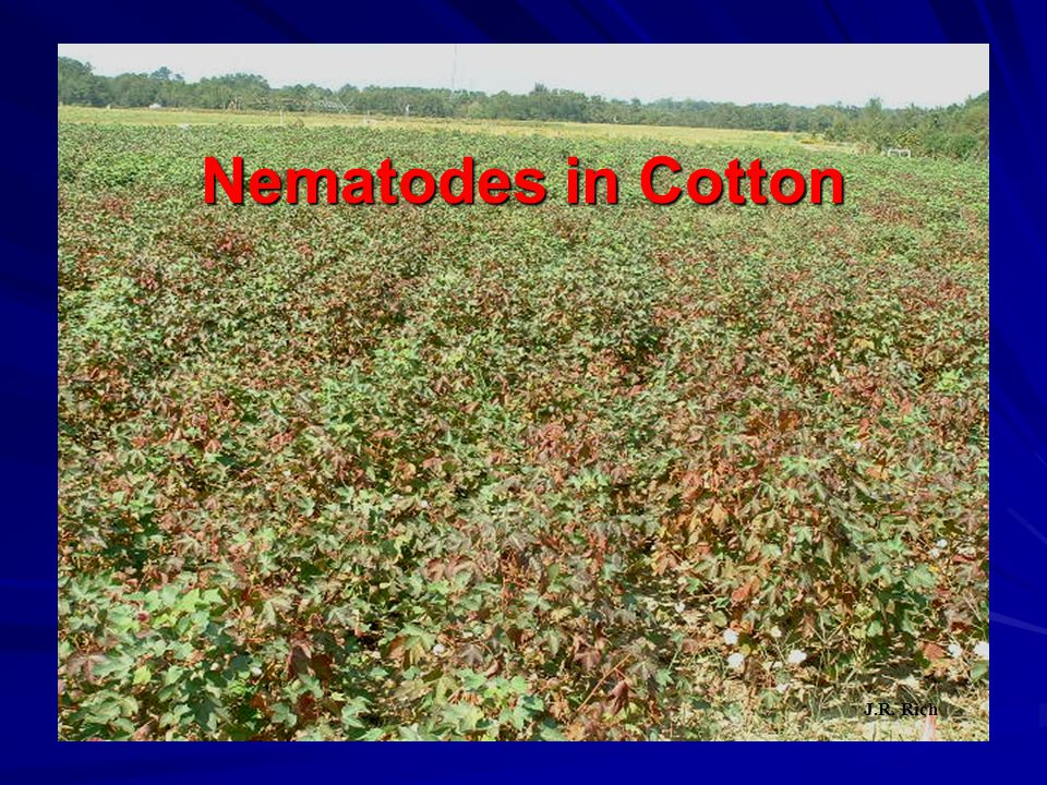 Cotton Nematicide Rates Varies Dependent Upon: Soil Type, Location, Nematode Species  Temik 15G (In Furrow)  Ranges from 3.5 lbs/a to 7 lbs/a at the time of planting  Telone II (In Row, Single Chisel)  Ranges from 3 gal/a to 5 gal/a applied at least 7 days prior to planting